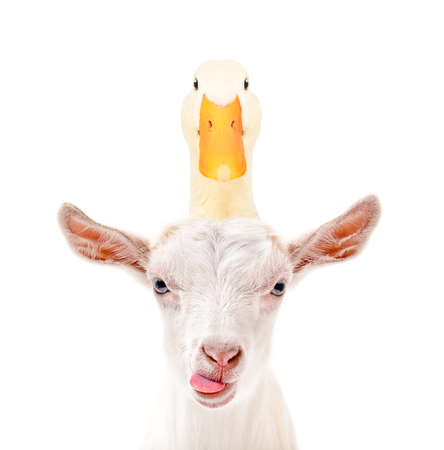 Portrait of funny goat showing tongue with duck on head isolated on white background Foto de archivo