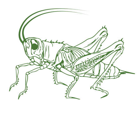 Outline illustration of a cricket. Detailed solid color image of a cricket, grasshopper, isolated on white background. Illusztráció