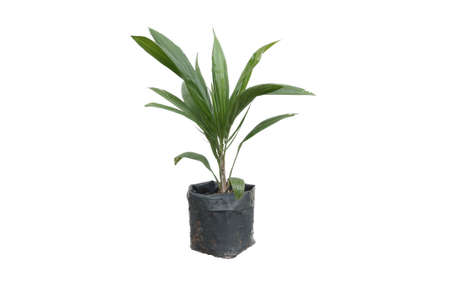 oil palm: Sprout of palm oil was isolated on white background