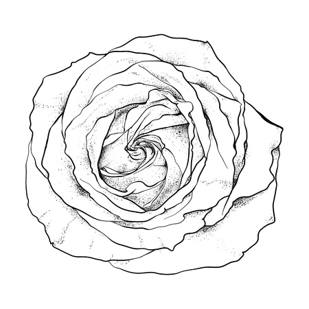 highly detailed hand drawn rose  Vector