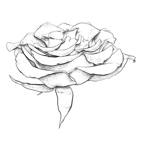 highly detailed hand drawn rose Vektoros illusztráció