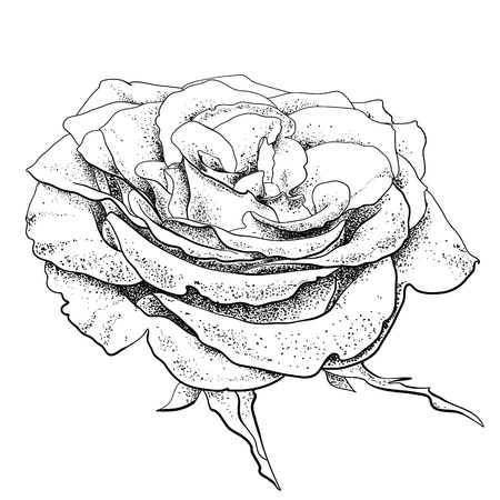hand drawn flower: highly detailed hand drawn rose