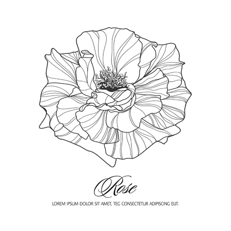 in bloom: Greeting card with rose, ink sketch, can be used as invitation card for wedding, birthday and other holiday and summer background. Vector illustration. Illustration