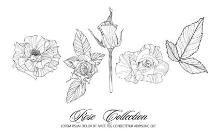 highly detailed: Rose sketch collection. Hand drawn flower set. Highly detailed hand drawn roses. Vector illustration. Illustration