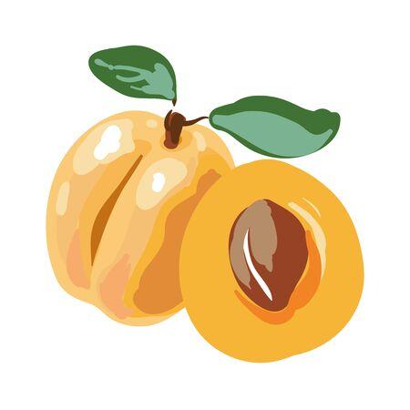 Fresh cut apricot fruits isolated on white background. Vector Illustration. Illustration