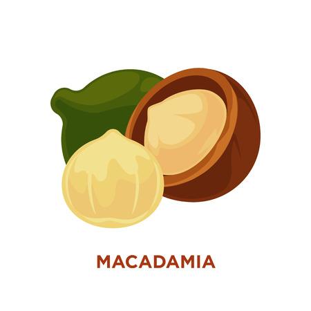 macadamia: Macadamia nut isolated on white. Vector illustration.