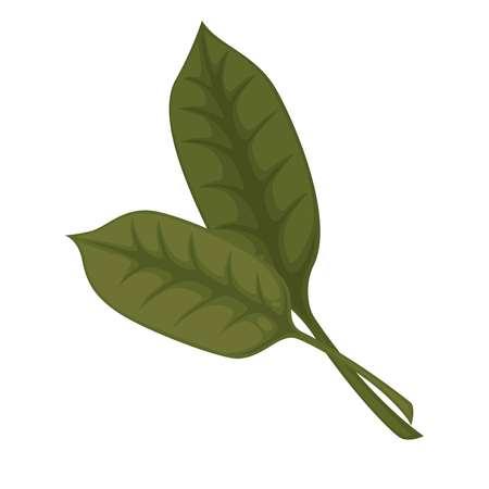 docks: Common sorrel or garden sorrel leaves isolated on white background.