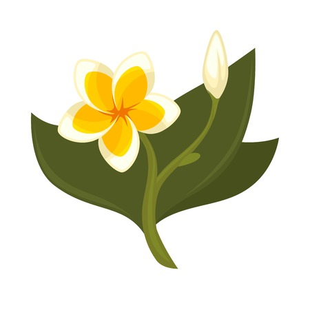 Tropical tree plumeria with flower, bud and green leaves isolated