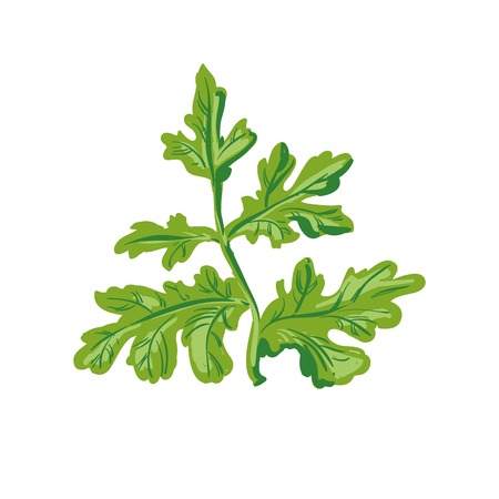 Parsley isolated on white. Annual herb in the celery family