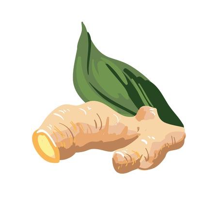 fleshy: Galangal root and green leaf. Ginseng rhizome fleshy ginger spice