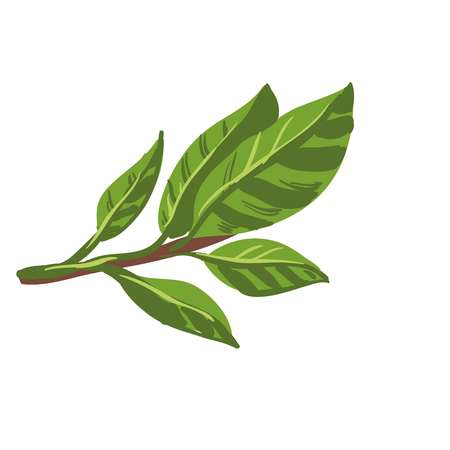 leaf: Fresh laurel bay leaves on branch. Healthy food organic plant.