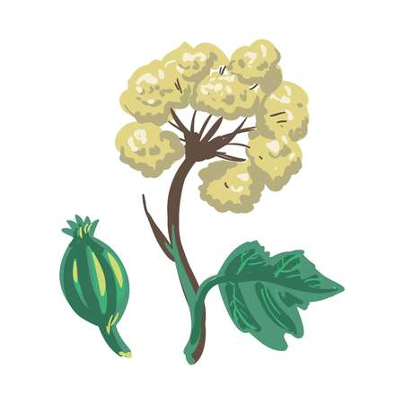Lovage herbaceous, tall perennial plant isolated on white. Medical herb Illustration