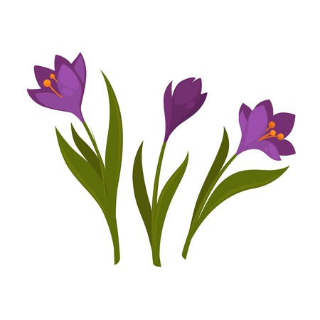 Three violet crocus blooming flowers isolated on white background Illustration