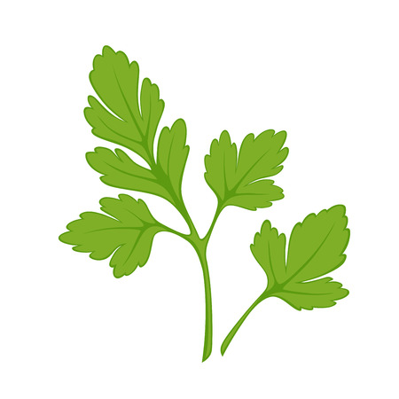 prepare: Fresh green parsley isolated on white close up vector illustration