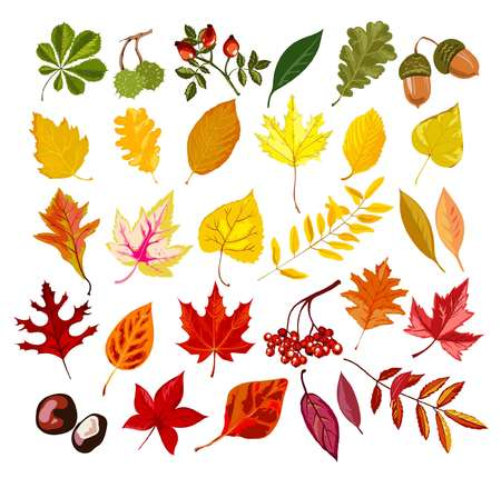 Autumn oak, maple, rowan leaf foliage fall collection vector isolated leaves set