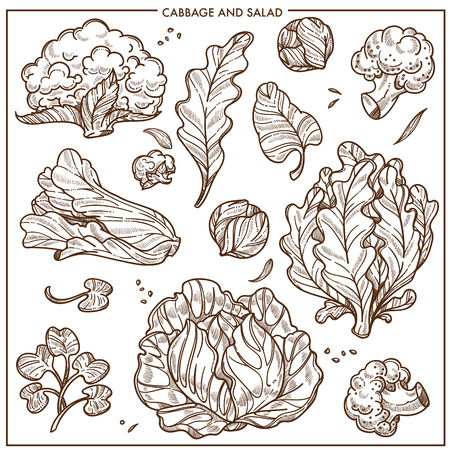 Salad lettuce and cabbages vegetables sketch icons. Vector isolated white cauliflower or broccoli cabbage, iceberg salad leaf and oakleaf or sorrel, spinach and watercress cole and kale veggies