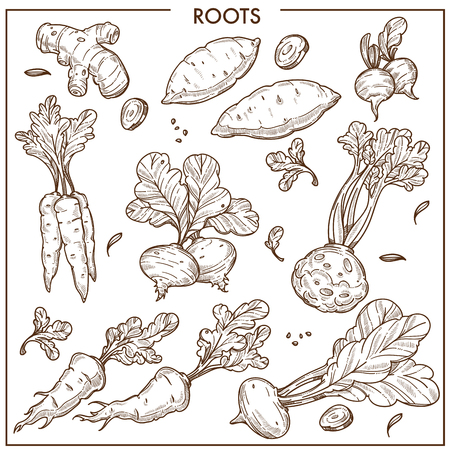 Root vegetables sketch icons. Illustration