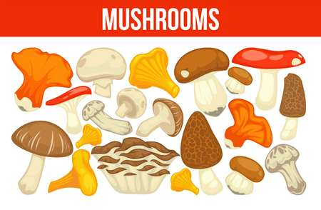 Mushrooms edible mushrooming poster. Vector flat champignon and boletus or forest chanterelle and lobster mushroom. Illustration