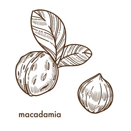 Whole macadamia nuts in shell with small leaves