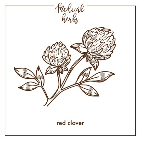 Red clover medical herb sketch botanical design icon for medicinal herb or phytotherapy herbal tea infusion package. Vector isolated red clover plant symbol for herbal natural medicine