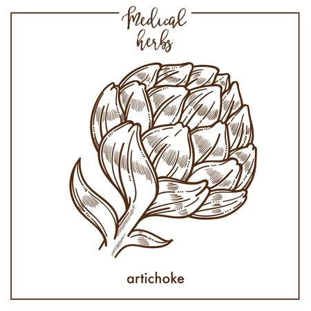 Artichoke medical herb sketch botanical design icon for medicinal herb or phytotherapy herbal tea infusion package. Vector isolated artichoke plant flower symbol for herbal natural medicine Ilustração