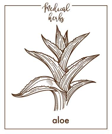 Aloe medical herb sketch botanical design icon for medicinal herb or phytotherapy and cosmetics. Vector isolated aloe vera leaf plant symbol for herbal natural medicine Ilustração