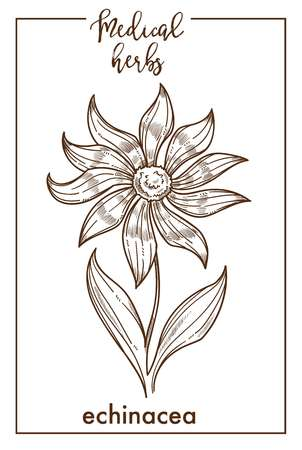 Echinacea medical herb sketch botanical design icon for medicinal herb or phytotherapy herbal tea infusion package. Vector isolated echinacea flower plant for herbal natural medicine Ilustração