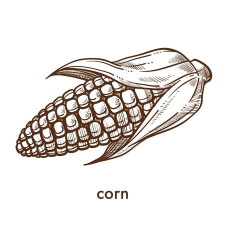 Ripe organic ear of corn grown at fram monochrome sketch. Delicious natural vegetable that has slight sweet taste and long leaves isolated cartoon flat vector illustration on white background.