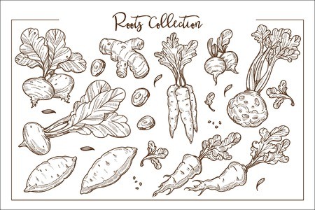 Edible organic roots grown at farm monochrome collection. Sweet beetroot, healthy ginger, crispy carrot, fresh celery and ripe reddish isolated cartoon vector illustrations on white background.