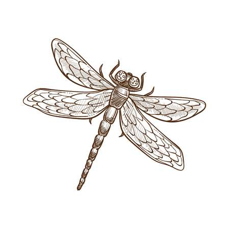 Dragonfly fast-flying long-bodied predatory insect with two pairs of large transparent wings spread out sideways at rest. Monochrome vector illustration of dragon-fly isolated on white, sketch design