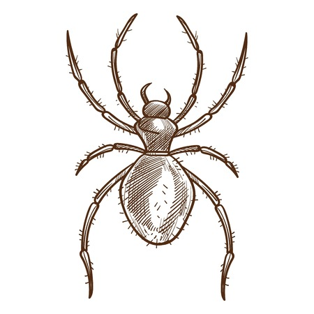 Black spider eight-legged predatory arachnid with unsegmented body consisting of fused head and thorax and a rounded abdomen. Monochrome vector illustration of insect isolated on white, sketch design
