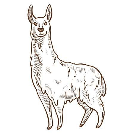 Llama animal looking straight monochrome sketch, domesticated animal of camel family found in Andes, camelid llama icon, widely used as meat vector illustration. Wildlife creature isolated on white Illustration
