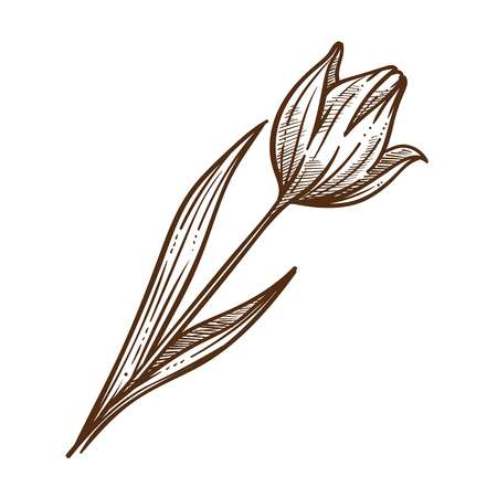 Flower tulip leaf monochrome sketch outline. Bulbous spring-flowering plant of lily family with boldly colored cup-shaped blooming. Petals decorative drawn botanic element vector illustration Ilustração