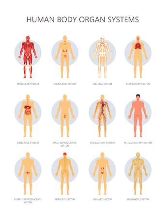Human body biological organ systems medical infographic. Vector muscular, endocrine or skeletal and respiratory or reproductive and digestive male and female systems