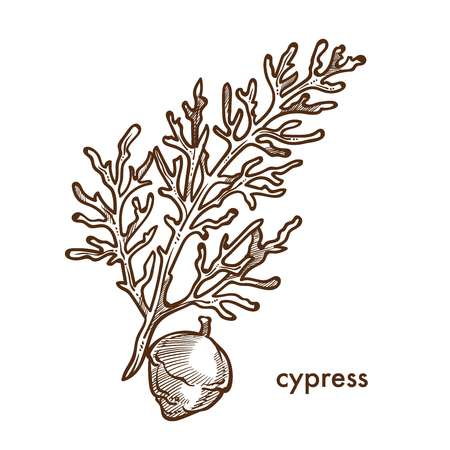 Cypress branch of plant with leaves and berries vector. Monochrome sketch outline isolated twig shrubs and bushes of vegetation in woods and forests. Nature and botanical flora, foliage frondage Ilustração