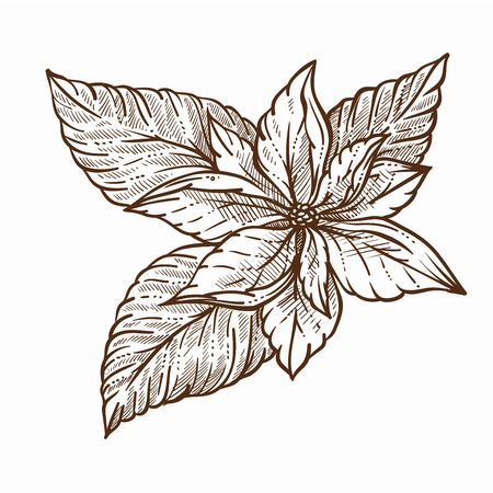Mistletoe plant with large leaves monochrome sketch outline Stock Photo
