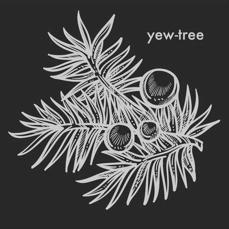 Yew tree branch with seed cones, needle leaves, coniferous evergreen plant detailed close up hand drawn sketch, concept flat monochrome vector illustration and text