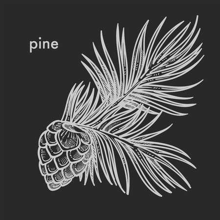 Pine cone with needle leaves, coniferous tree detailed close up hand drawn sketch, concept flat monochrome vector illustration and text