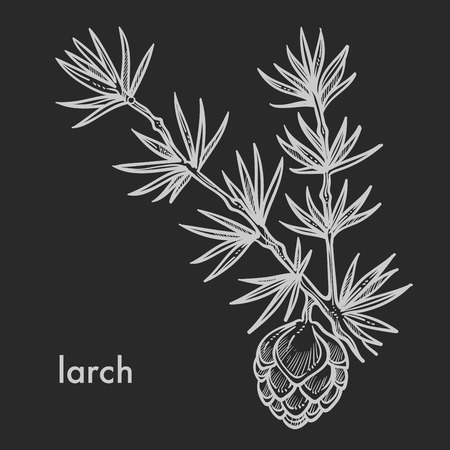 Larch cone with needle leaves, coniferous tree branch detailed close up hand drawn sketch, concept flat monochrome vector illustration and text