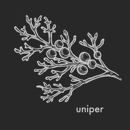 Juniper leaves branch with shelled seed berries, coniferous tree stems detailed close up hand drawn sketch, concept flat monochrome vector illustration and text Vektorgrafik