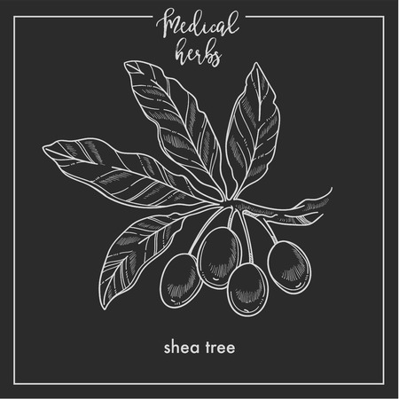 Shea tree seeds medical herb sketch botanical design icon for medicinal herb or phytotherapy herbal tea infusion package. Vector isolated shea plant symbol for herbal natural medicine
