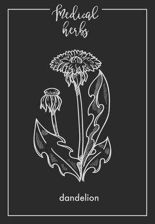 Dandelion flower medical herb sketch botanical design icon for medicinal herb or phytotherapy herbal tea infusion package. Vector isolated dandelion plant for herbal natural medicine