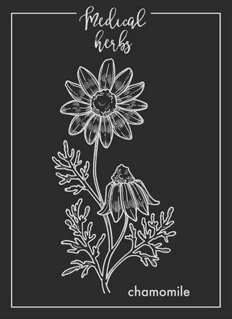 Chamomile flower medical herb sketch botanical design icon for medicinal herb or phytotherapy herbal tea infusion package. Vector isolated chamomile or camomile plant for herbal natural medicine Ilustração