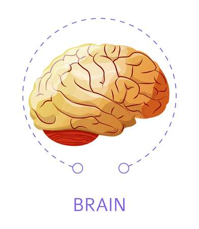 Internal cerebral organ brain isolated icon nervous system vector human anatomy medicine and healthcare neurology and intellect thinking process and mind imagination and sensory biology science.