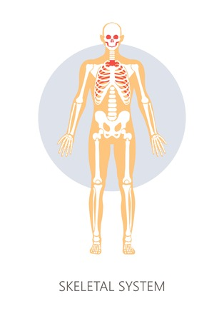 Bones skeletal system human anatomy isolated anatomical structure vector skull and spine joints and hip ribs and feet skeleton physiology pelvis and vertebrae backbone medicine and healthcare. Illustration