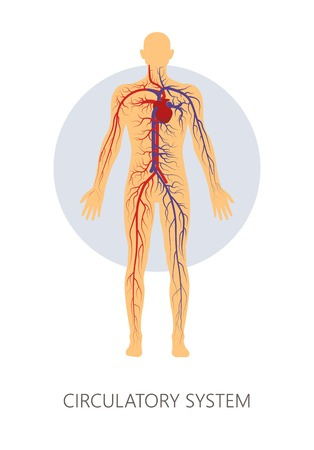 Veins and vessels circulatory system isolated human anatomy vector venous blood pressure heart rate or beat human physiology artery cardiovascular organs structure medicine and healthcare cardiology.
