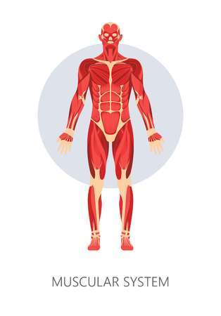 Muscles and muscular system isolated human body anatomy muscles vector medicine and healthcare movement and strength biceps and triceps anatomical structure deltoid educational model healthy