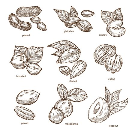 Nuts isolated sketches healthy food and organic nutrition