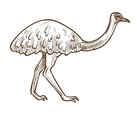 Emu ostrich isolated sketch, Australian flightless bird