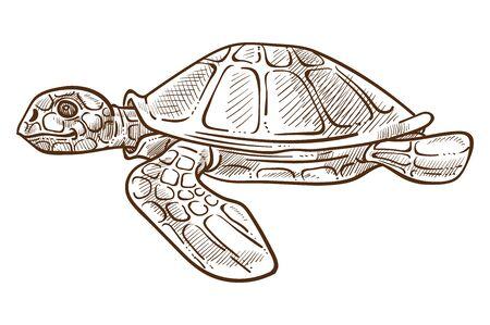 Isolierte Skizze der Meeresschildkröte, Unterwassertier mit Muschel- und Flossenvektor. Wasserschildkröte, Reptil oder Amphibie, Tauchen und Schwimmen. Meeresfauna, Wildtiere oder Zoo, karibische exotische Arten Vektorgrafik